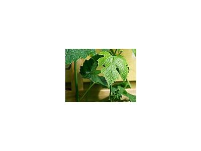 Photo Small Grape Leaf 2 Plant