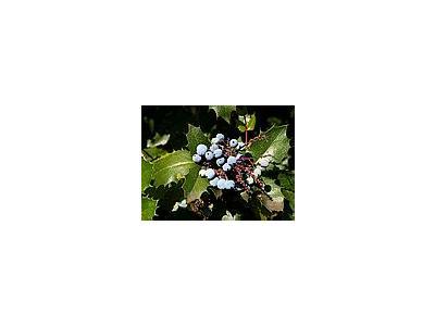 Photo Small Holly Plant