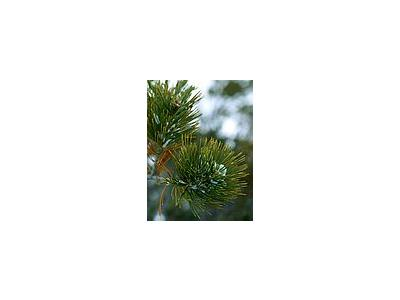 Photo Small Pine Plant