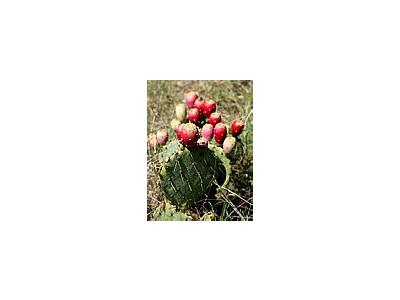 Photo Small Prickly Pear Cactus Plant