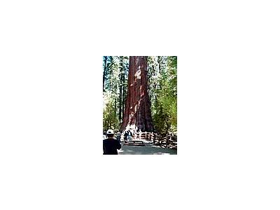 Photo Small Sherman Tree 3 Travel