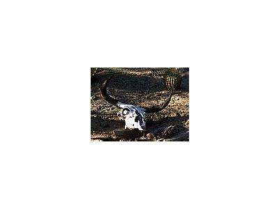 Photo Small Cow Skull 2 Other