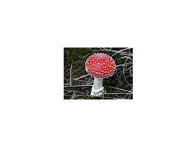 Photo Small Amanita Muscaria Other