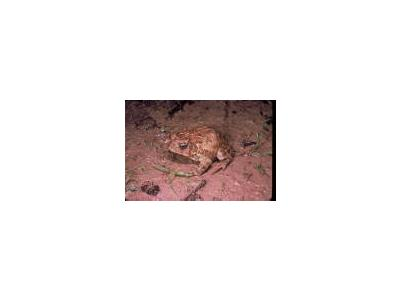 Houston Toad 00028 Photo Small Wildlife