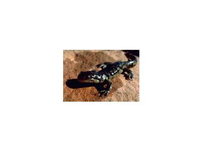 Tiger Salamander 00031 Photo Small Wildlife