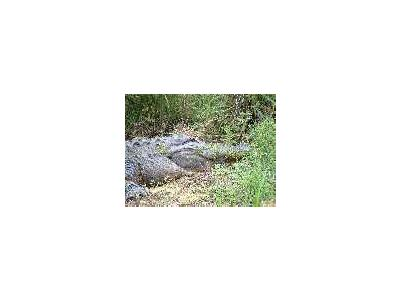 American Alligator 00050 Photo Small Wildlife