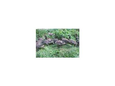 Aleutian Cackling Goose Flock And Brood 00063 Photo Small Wildlife