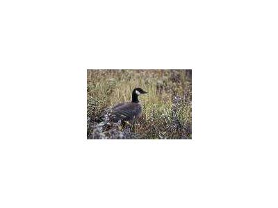 Aleutian Cackling Goose Portrait 00064 Photo Small Wildlife