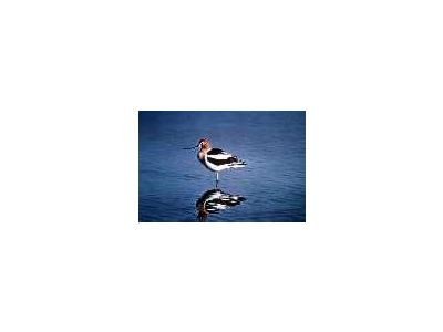 American Avocet 00068 Photo Small Wildlife