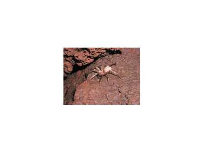 WOE204 Kauai Cave Wolf Spider 00087 Photo Small Wildlife