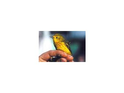 Banding A Yellow Warbler 00113 Photo Small Wildlife