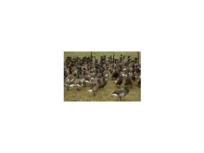 Flightless Brant Geese In Pen 00117 Photo Small Wildlife