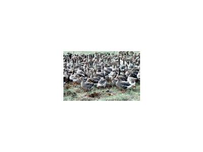 Flightless White Fronted Geese In Pen 00118 Photo Small Wildlife