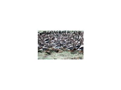 Flightless White Fronted Geese In Pen 00119 Photo Small Wildlife
