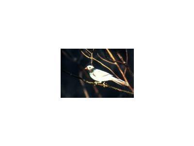 Aberrant Cardinal 00121 Photo Small Wildlife