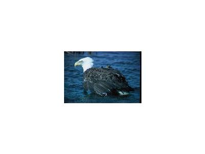 Adult Bald Eagle 00123 Photo Small Wildlife