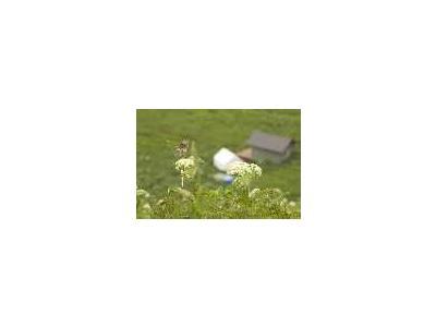 Chowiet Island Savannah Sparrow 00139 Photo Small Wildlife