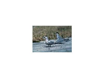 Aleutian Terns Adak 00146 Photo Small Wildlife