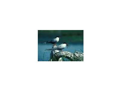 Arctic Tern Pair 1989 00151 Photo Small Wildlife