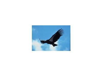 Adult Condor In Flight 00190 Photo Small Wildlife