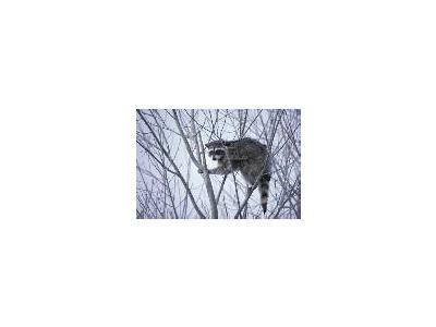 Raccoon 00202 Photo Small Wildlife