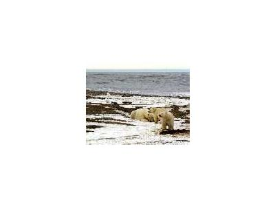 1002 Area Polar Bear Sow And Two Cubs On The Beaufort Sea Coast 00213 Photo Small Wildlife