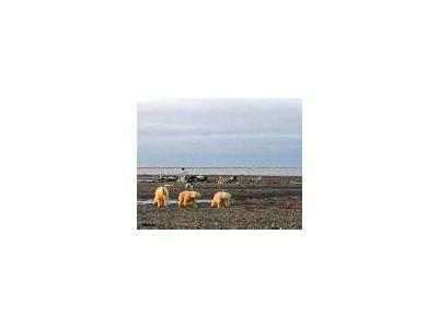1002 Area Three Polar Bears On The Beaufort Sea Coast 00214 Photo Small Wildlife
