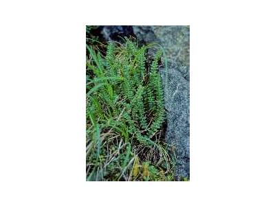 Aleutian Shield Fern 00296 Photo Small Wildlife