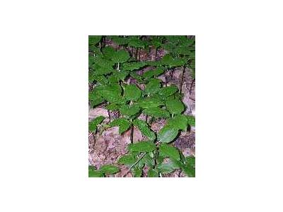 Croomia Pauciflora 00302 Photo Small Wildlife