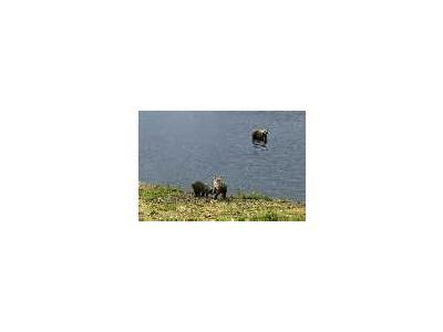 Brown Bears At Frazer Fish Pass 00345 Photo Small Wildlife