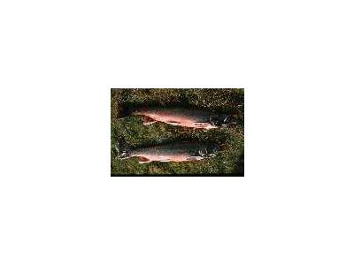 Arctic Char 00355 Photo Small Wildlife