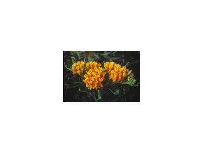 Butterfly Weed 00376 Photo Small Wildlife