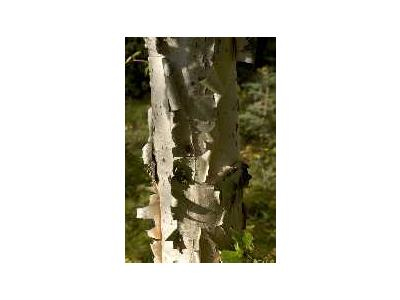 Birch Tree Showing Bark 00452 Photo Small Wildlife