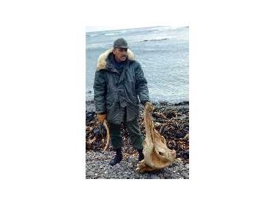 Amchitka Beachcomber With Whale Skull1966 00548 Photo Small Wildlife