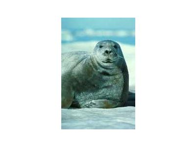 Bearded Seal Portrait 00551 Photo Small Wildlife
