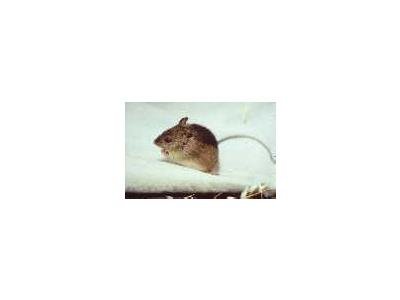 Prebles Meadow Jumping Mouse 00578 Photo Small Wildlife