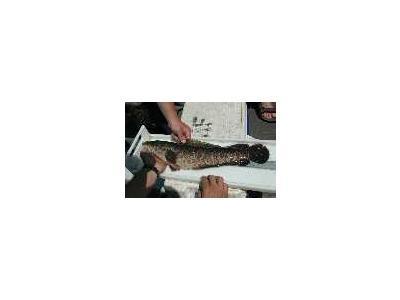 Northern Snakehead Fish 00616 Photo Small Wildlife