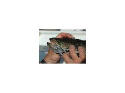 Northern Snakehead Fish 00617 Photo Small Wildlife