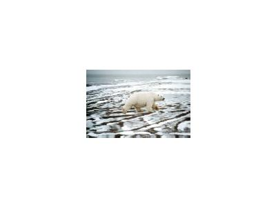 Polar Bear 00658 Photo Small Wildlife