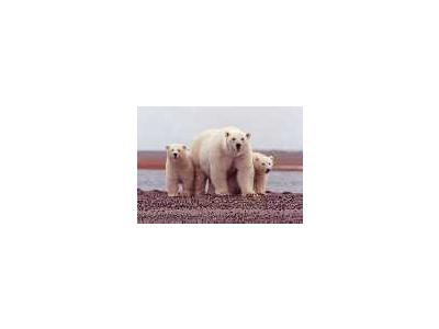 Polar Bear Female With Young 00660 Photo Small Wildlife