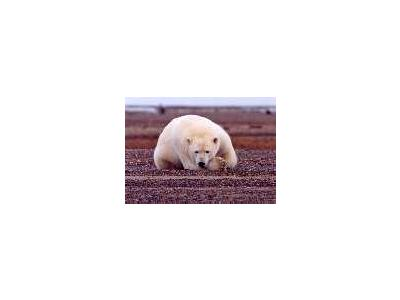 Polar Bear Resting But Alert 00661 Photo Small Wildlife
