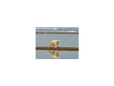 Polar Bear Walking Along The Coast 00662 Photo Small Wildlife