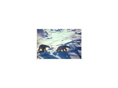 Polar Bears In Cape Lisburne 00663 Photo Small Wildlife