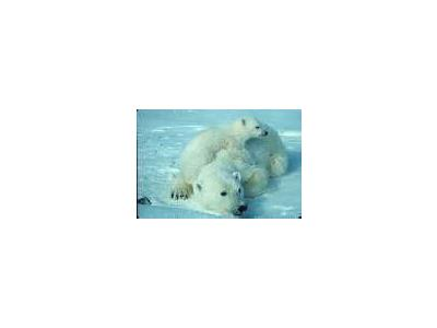 WO2000 Polar Bear With Cub 00664 Photo Small Wildlife