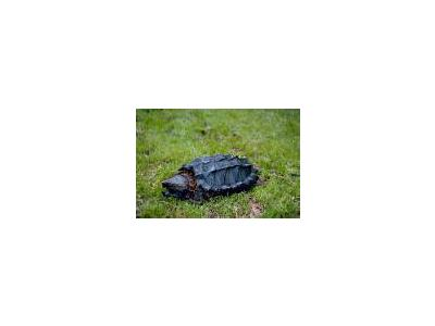 Alligator Snapping Turtle 00673 Photo Small Wildlife