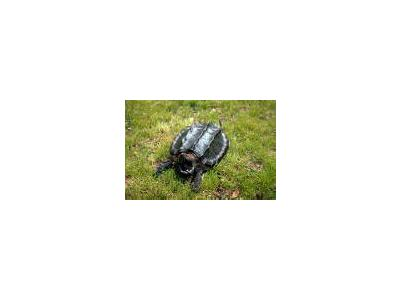 Alligator Snapping Turtle 00674 Photo Small Wildlife