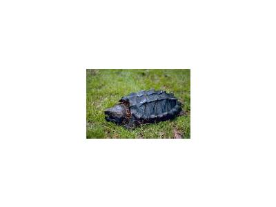 Alligator Snapping Turtle 00675 Photo Small Wildlife