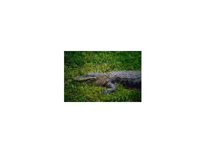 American Alligator 00676 Photo Small Wildlife