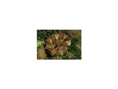 Broad Banded Copperhead 00680 Photo Small Wildlife
