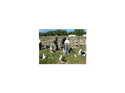 WOE195 Counting Laysan Albatross Nests 00695 Photo Small Wildlife